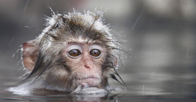 swimming-baby-monkey